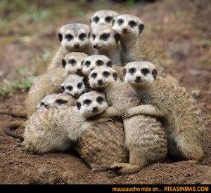 retrato-de-familia-de-suricatos